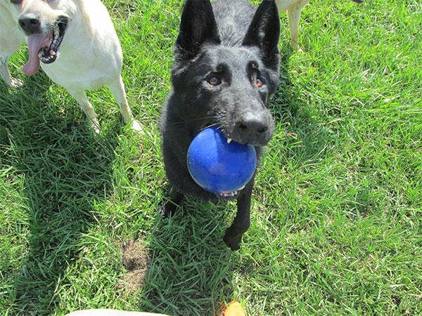 Black dog playing with a blue ball