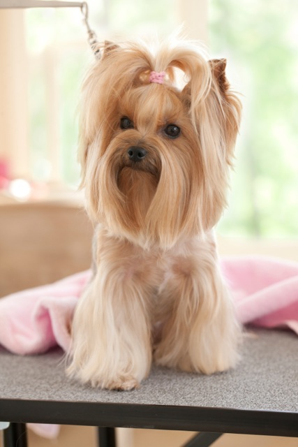 Yorkshire Terrier dog being groomed