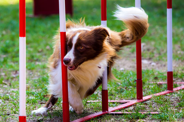 Dog running an agility course