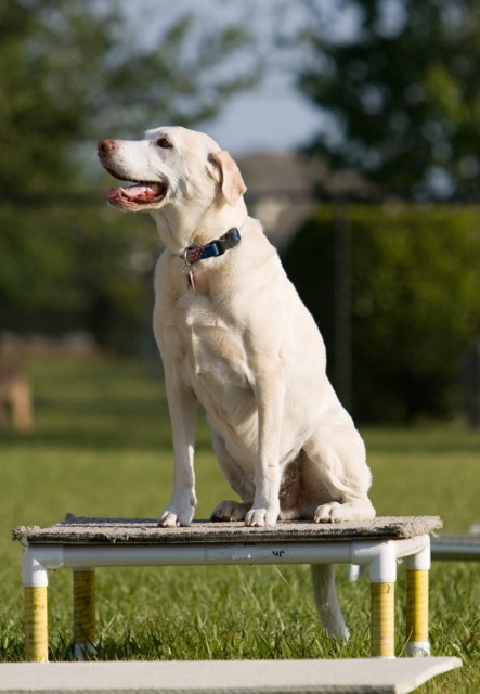 Yellow lab posing on a platform